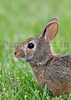 Eastern cottontail (juvenile).  Wichita, Kansas.