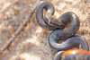 Ringnecked Snake<br /> Cottle County, Texas.