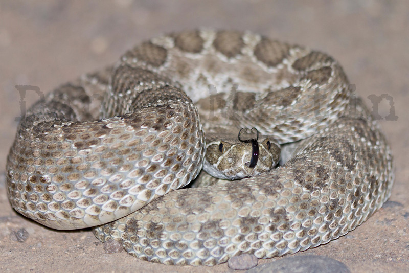 Prairie Rattlesnake (on road at night).<br /> Baca County, Colorado.