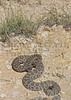 Prairie Rattlesnake on road.<br /> Otero County, Colorado.