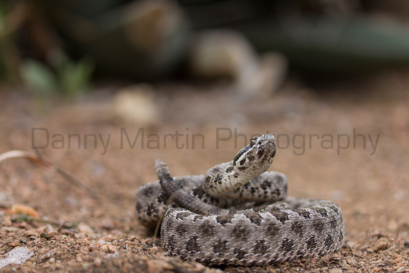 Desert Massasauga<br /> New Mexico<br /> *captive