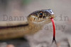 Common Gartersnake<br /> Larimer County, Colorado.