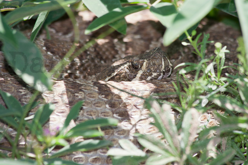 Prairie Rattlesnake resting in shade after eating a prairie dog<br /> Pawnee National Grassland, Weld County, Colorado.