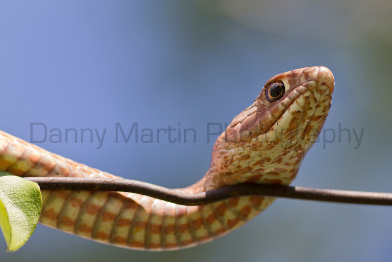 Coachwhip on wire fence<br /> Comanche County, Oklahoma