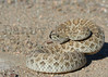 Prairie Rattlesnake (defensive posture)<br /> Pawnee National Grassland, Colorado