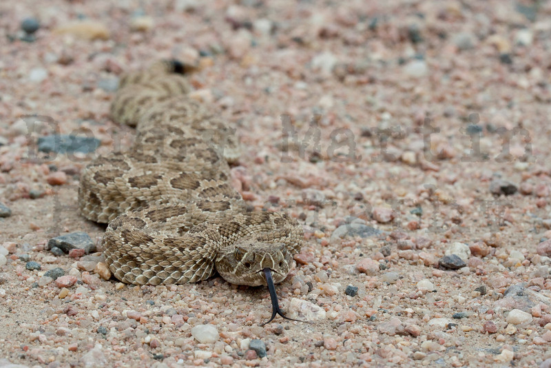 Prairie Rattlesnake basking on road<br /> Pawnee National Grassland, Weld County, Colorado
