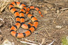 Western Groundsnake<br /> Otero County, Colorado