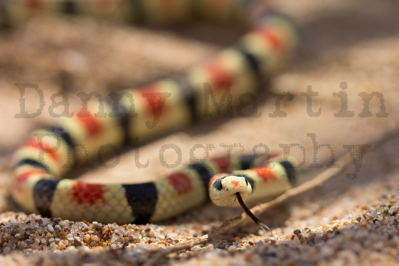Shovel-nosed Snake<br /> Imperial County, California.