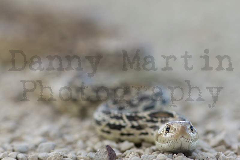 Bullsnake (basking on road)<br /> Las Animas County, Colorado.