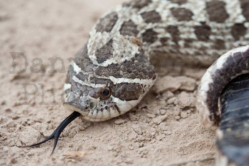 Plains Hog-nosed Snake<br /> Pawnee National Grassland, Weld County, Colorado.