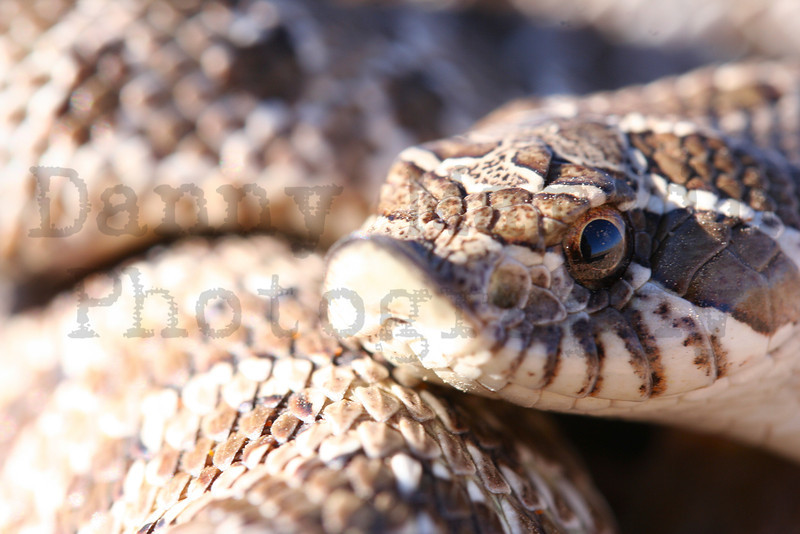 Western Hog-nosed Snake<br /> Pawnee National Grassland, Weld County, Colorado.