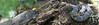 Southern (Broad-banded) Watersnake<br /> Tangipahoa Parish, Louisiana<br /> *panoramic stitch of 3 images
