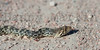 Gopher Snake, Bonny Reservoir State Wildlife Area, Yuma County Colorado