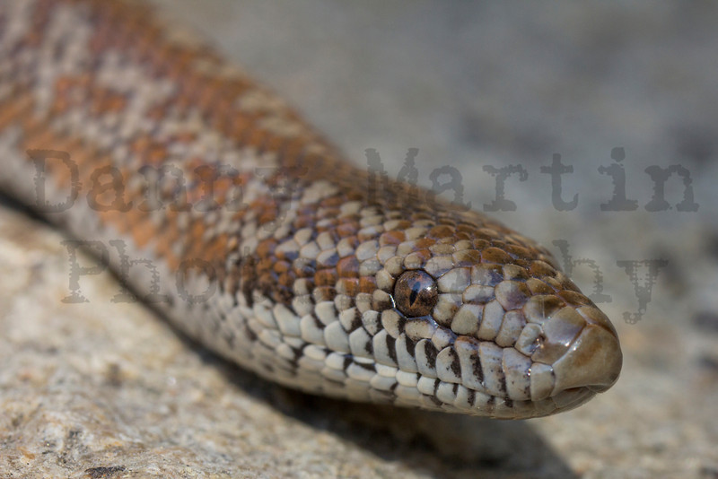 Rosy Boa<br /> Mission Trails Regional Park, San Diego County, California