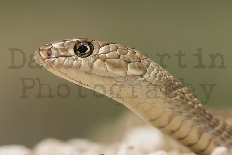 Coachwhip<br /> Bailey County, Texas.