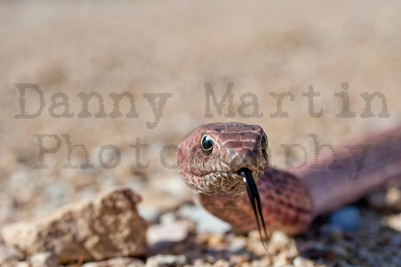 Coachwhip<br /> Brewster County, Texas.<br /> *restrained