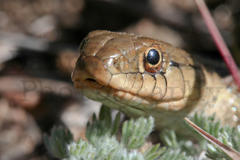 Terrestrial Gartersnake<br /> Rocky Mountain National Park, Colorado.