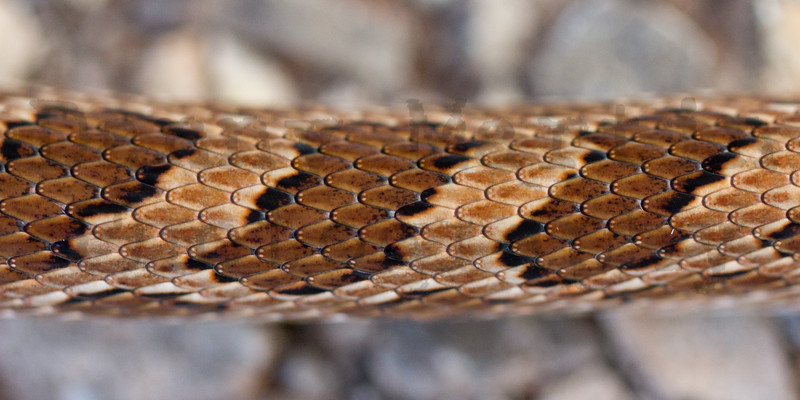 Great Plains Ratsnake<br /> Black Kettle National Grassland, Roger Mills County, Oklahoma.