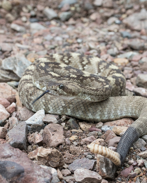 Black-tailed Rattlesnake<br /> Brewster County, Texas<br /> *moved briefly under permit