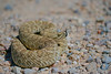 Western Rattlesnake<br /> Moffat County, Colorado