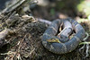 Southern (Broad-banded) Watersnake<br /> Tangipahoa Parish, Louisiana
