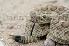 Prairie Rattlesnake<br /> Pawnee National Grassland, Weld County, Colorado.