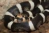 Long-nosed Snake (Clarus morph)<br /> Pima County, Arizona