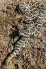 Southern Pacific Rattlesnake<br /> San Diego County, California<br /> *captive individual