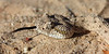 Sidewinder<br /> Imperial County, California.