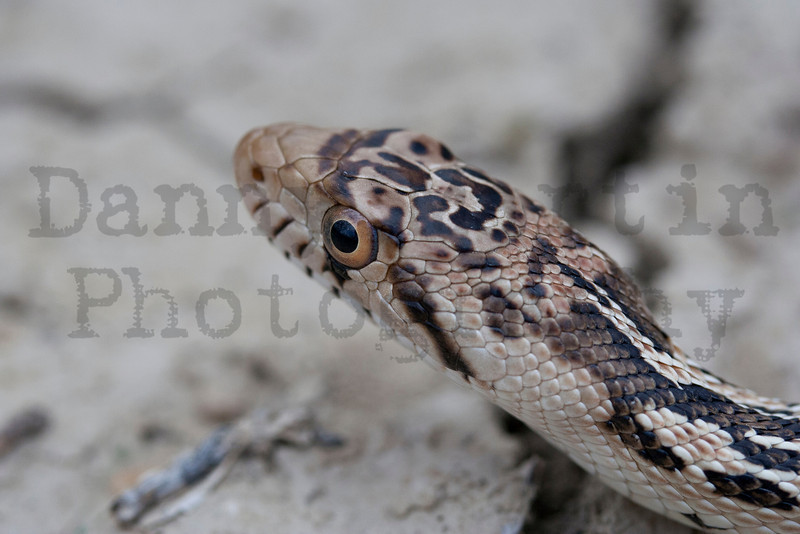 Bullsnake<br /> Pawnee National Grassland, Weld County, Colorado.
