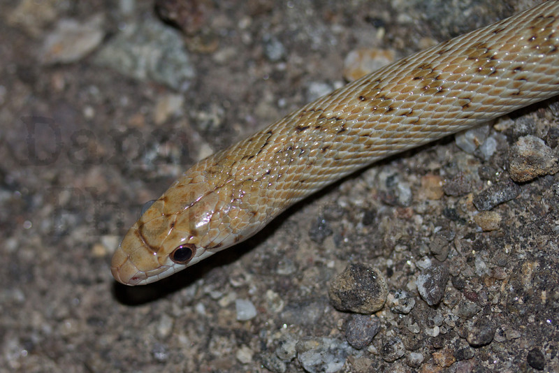 Glossy Snake.  <br /> Imperial County, California.