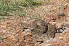Western Diamondback Rattlesnake<br /> Cottle County, Texas.<br /> *Released from temporary captivity for research project.