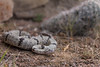 Rock Rattlesnake<br /> New Mexico<br /> *captive