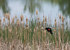 Red-winged Blackbird in cattails, calling.  <br /> Boulder County, Colorado.