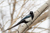 Black-billed Magpie<br /> Larimer County, Colorado