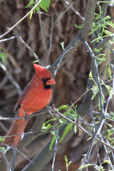 Northern Cardinal (male)<br /> Santa Cruz County, Arizona