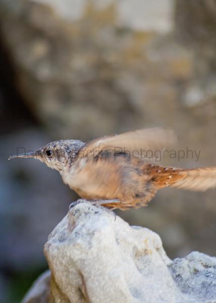 Canyon Wren (juvenile)<br /> Comanche National Grassland, Colorado.