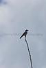 Eastern Kingbird<br /> Pratt County, Kansas