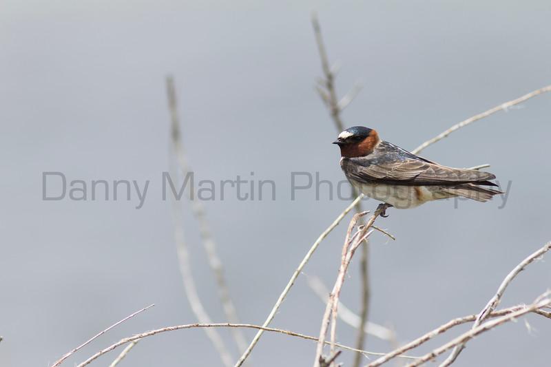 Cliff Swallow<br /> Jackson County, Colorado.