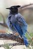 Steller's Jay<br /> Larimer County, Colorado