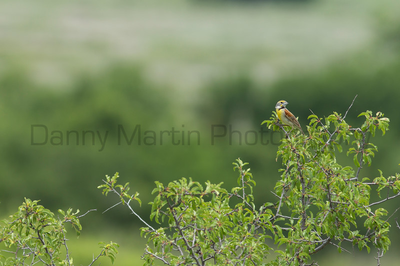 Dickcissel male perched on sandhill plum<br /> Barber County, Kansas