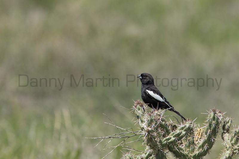 Lark Bunting (male)<br /> Otero County, Colorado