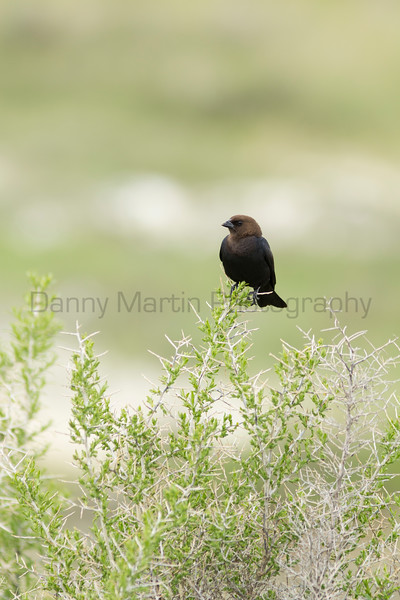 Brown-headed Cowbird (male)<br /> Jackson County, Colorado.