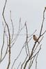 House Finch (male) perched on ocotillo<br /> Pima County, Arizona