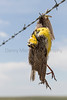 Western Meadowlark dead on barbed wire fence<br /> Weld County, Colorado