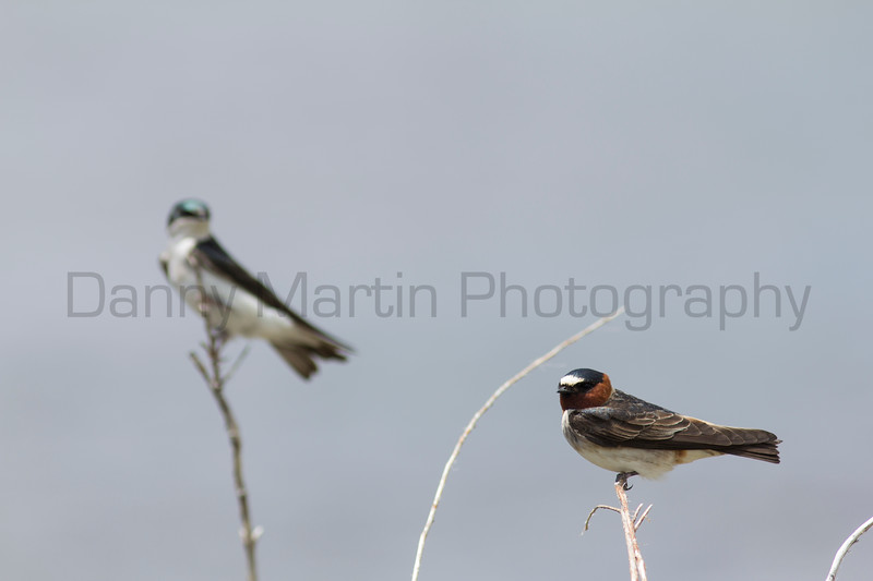 Tree Swallow (left background) and Cliff Swallow (right foreground)<br /> Jackson County, Colorado.