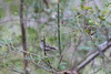 Golden-crowned Kinglet<br /> Forsyth County, Georgia
