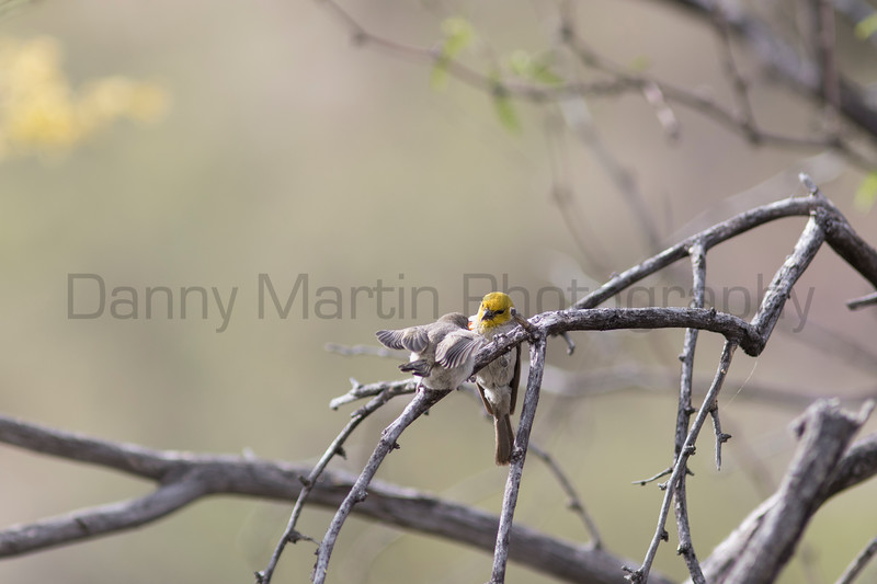 Verdin feeding juvenile<br /> Pima County, Arizona