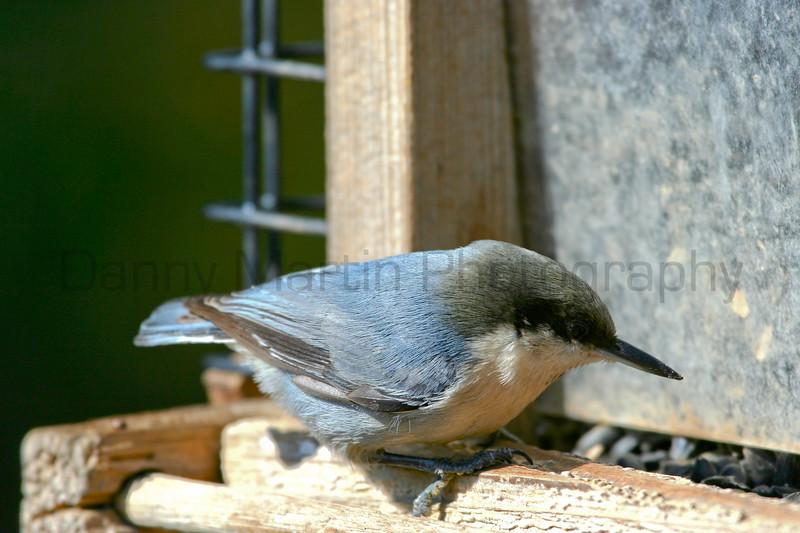 Pygmy Nuthatch, perched on bird feeder.  Near Lyons, Colorado.