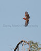 Vermilion Flycatcher (male, in flight)<br /> Pima County, Arizona